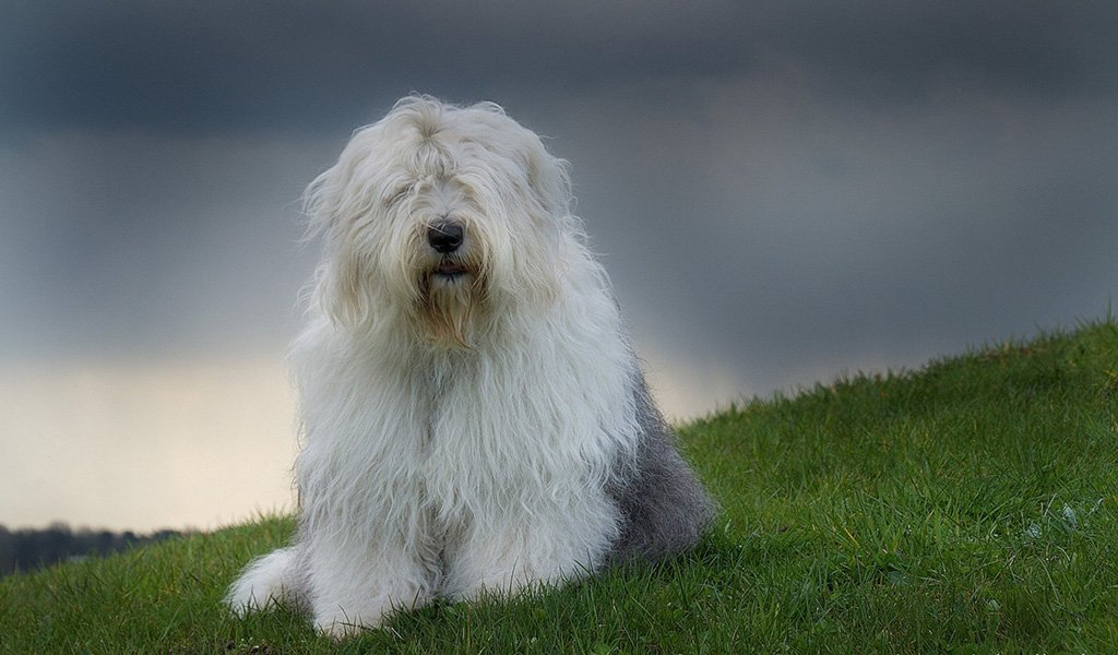 Бобтейл (Староанглийская овчарка)