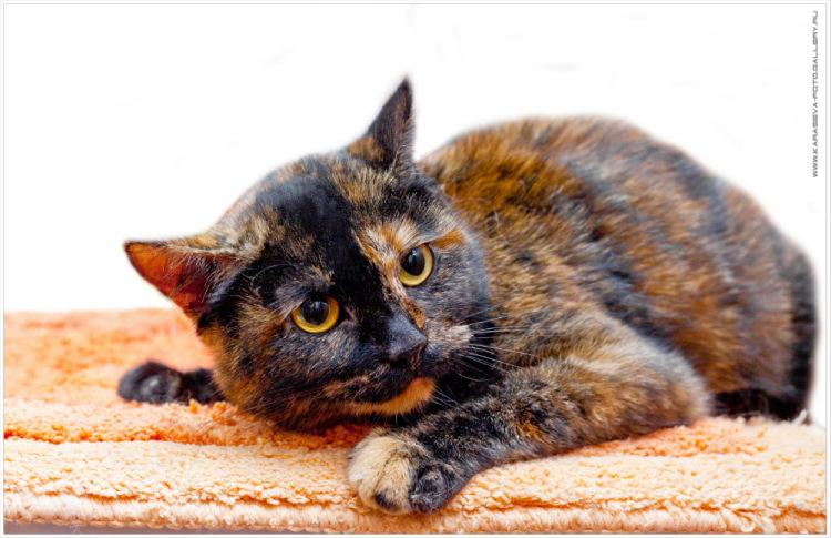Черепаховый окрас кошки и кота