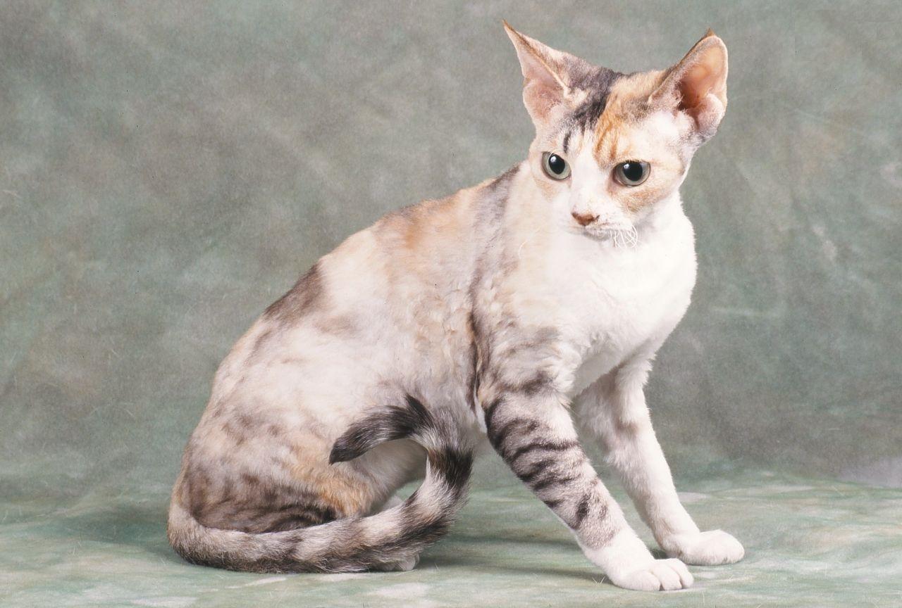 Анатолийская кошка (порода)