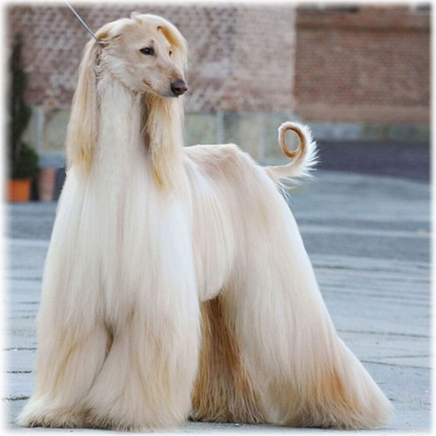 Длинношерстные собаки: большие породы с вытянутой мордой