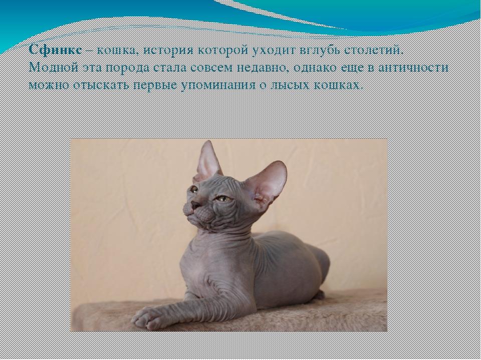 Сфинкс (кошка): сколько стоит, виды, характер