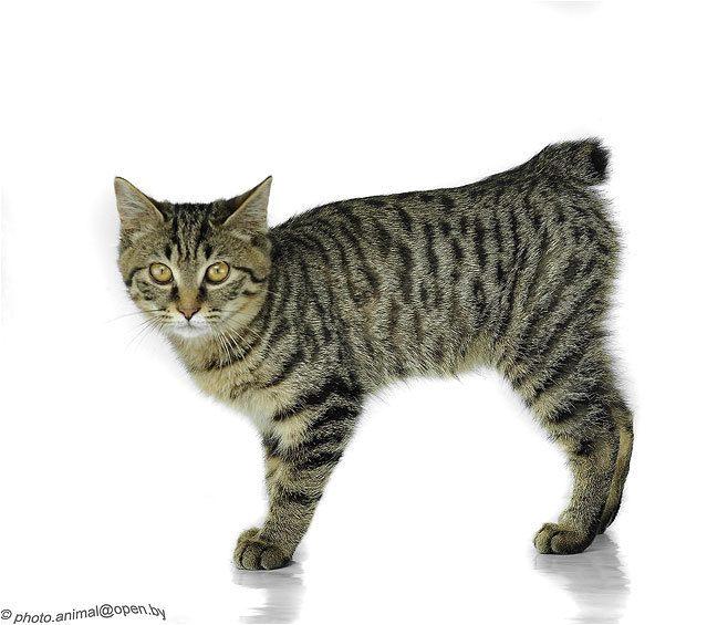 Породы кошек без хвоста (бобтейлы)