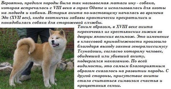 Акита ину: описание породы собак, характер