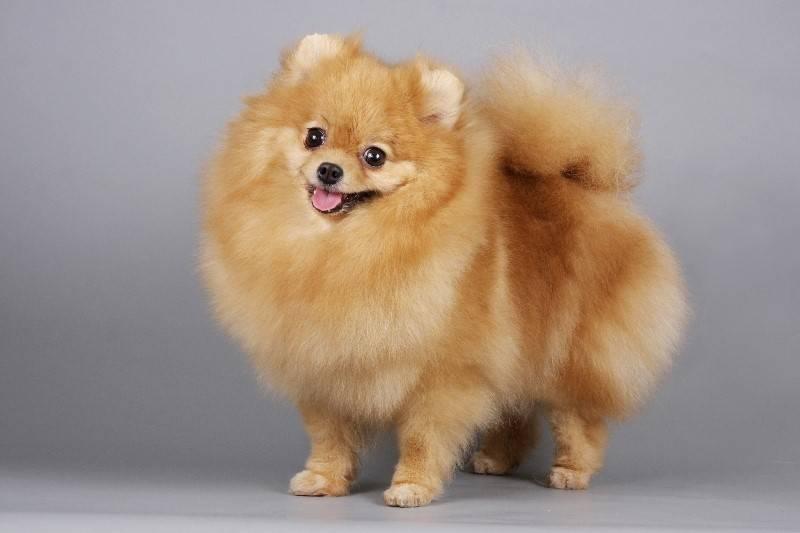 Собаки, похожие на облака: самые пушистые породы