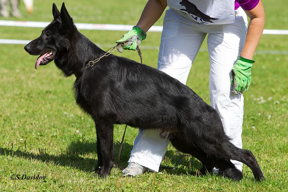 Карликовая овчарка (немецкая мини собака)