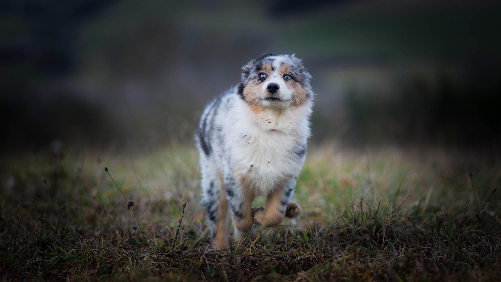 Австралийская овчарка (Аусси)