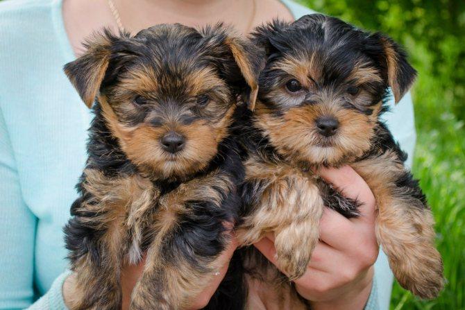 Клички для маленьких собак мальчиков и девочек