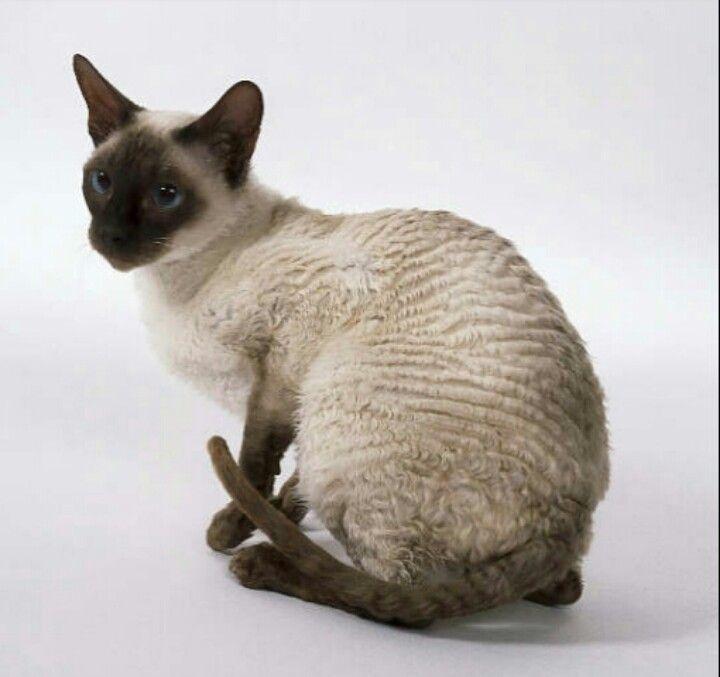 Корниш-рексы (кошки): сколько живут, помощь