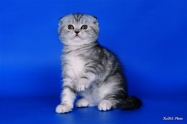 Особенности кормления котёнка и взрослого кота шотландской породы