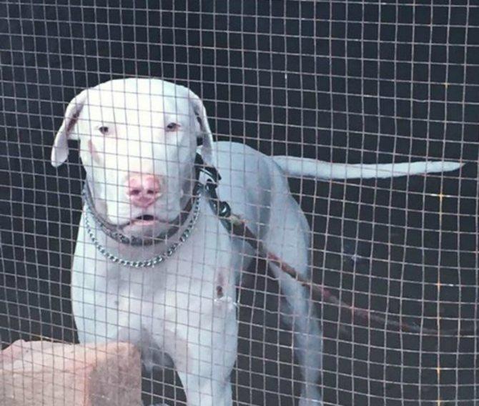 Гуль донг (пакистанский бульдог): описание породы собак