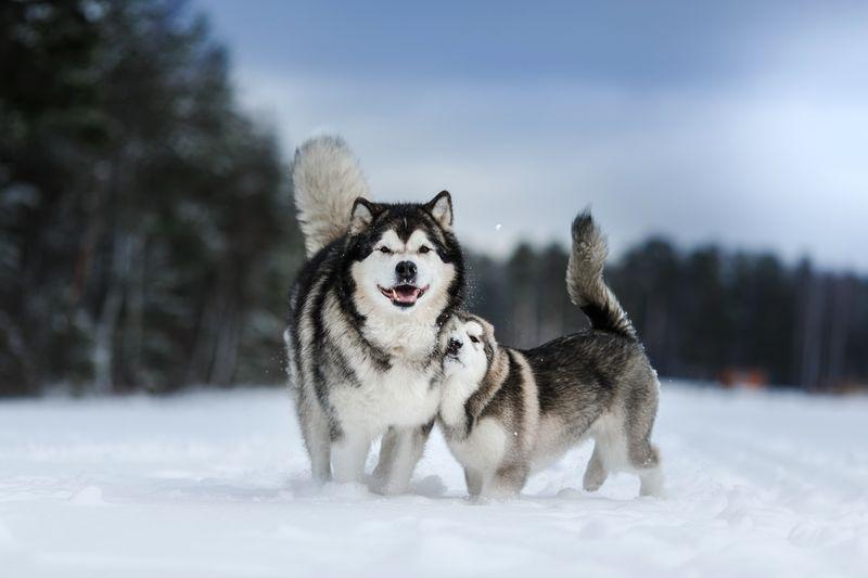 Топ 6 пород собак, которые отлично адаптируются к суровым зимам и низким температурам