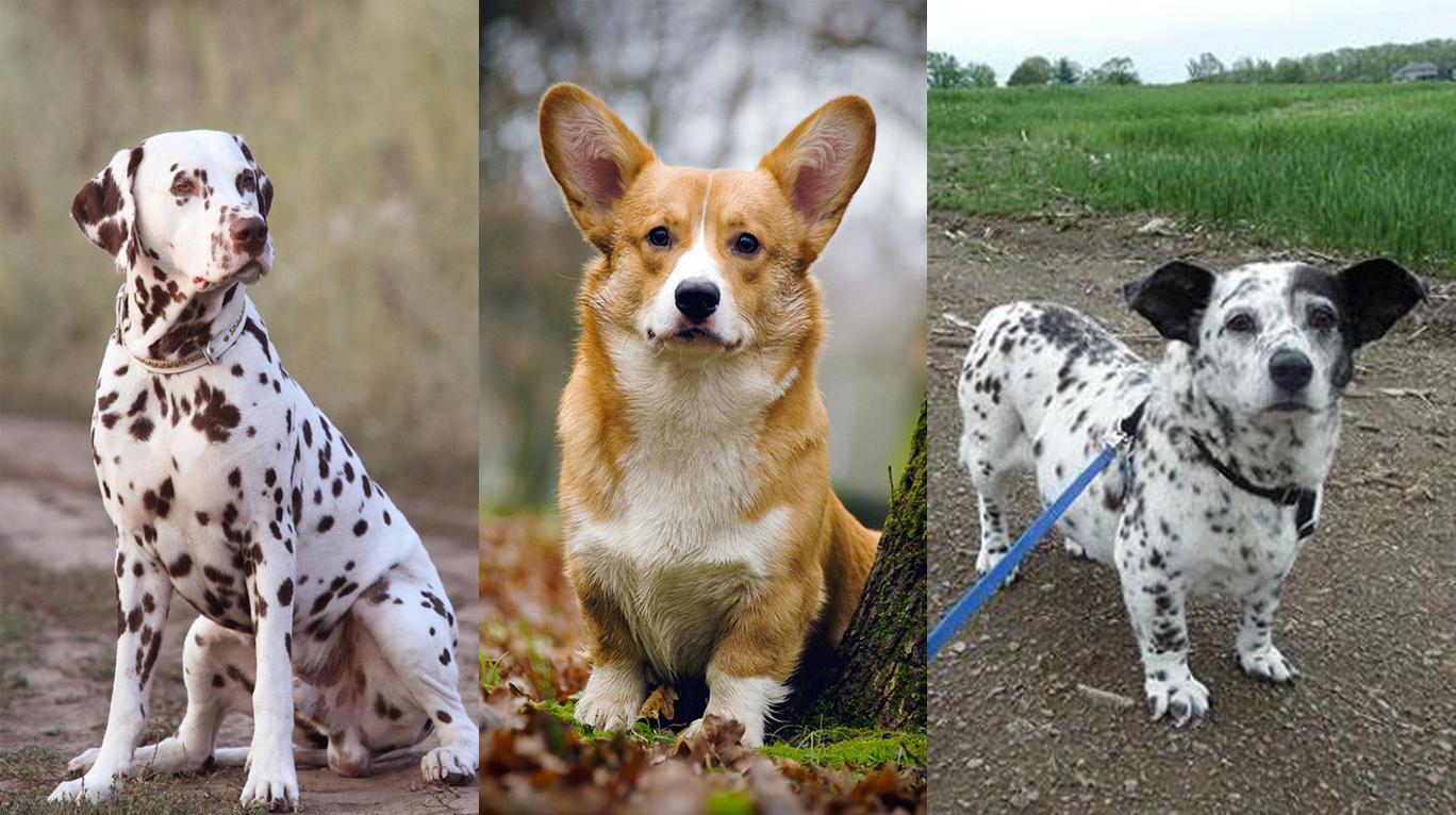 Метис (собака): что это, помеси разных пород