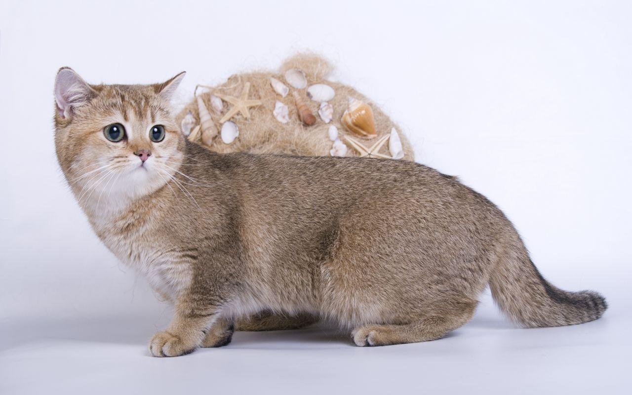 8 вечных котят: самые маленькие породы кошек