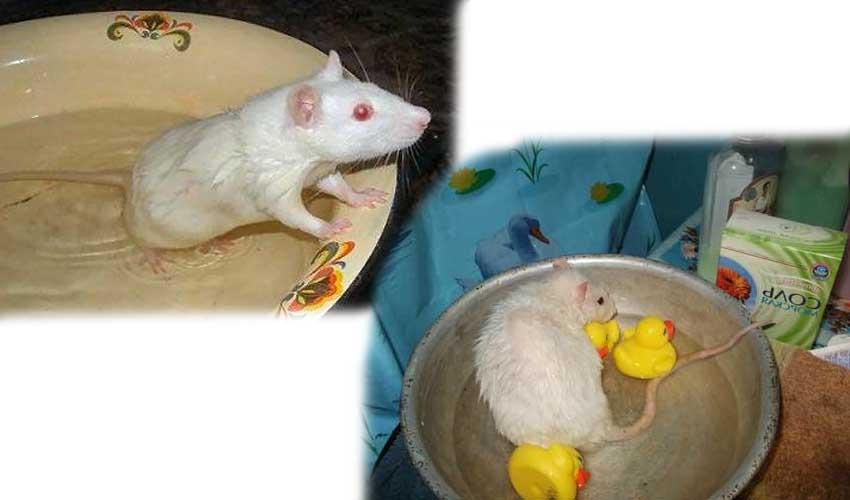 Как мыть крысу в домашних условиях, приучить к воде