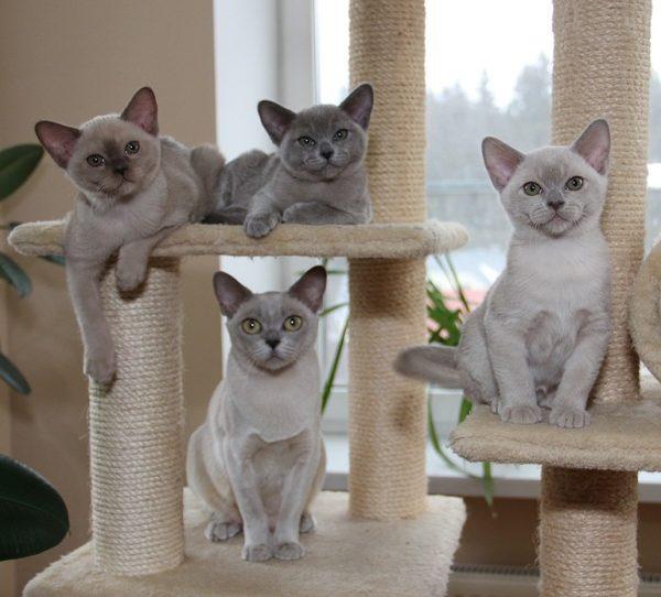 Всё, что вы хотели знать о бурманской кошке