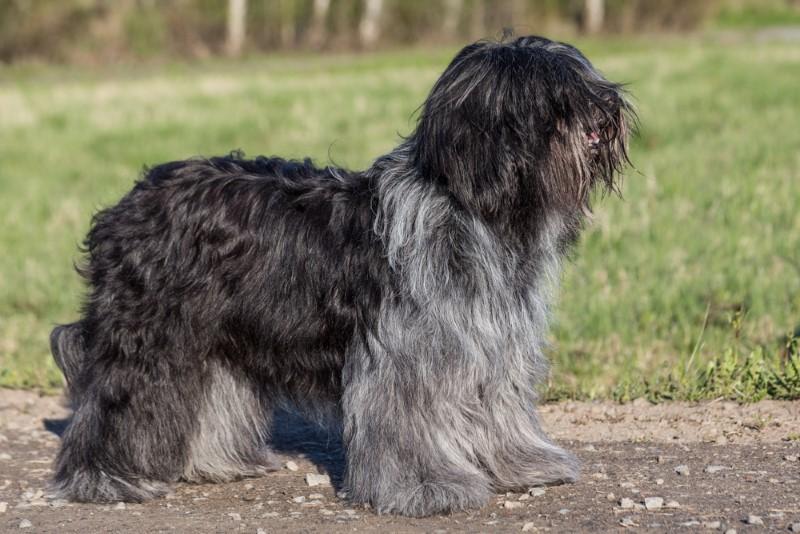 Шапендуа (голландская овчарка шапендус, схапендус)