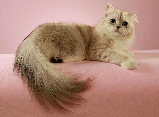 Рагамаффин — порода кошек