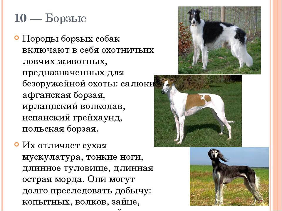 Борзые собаки: краткий обзор групп пород