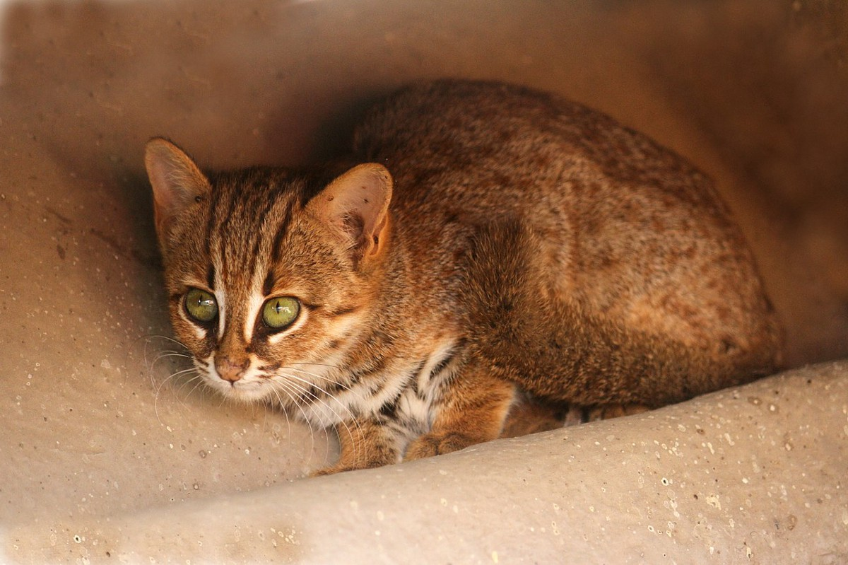 Ржавая кошка — самый миниатюрный вид кошачьих