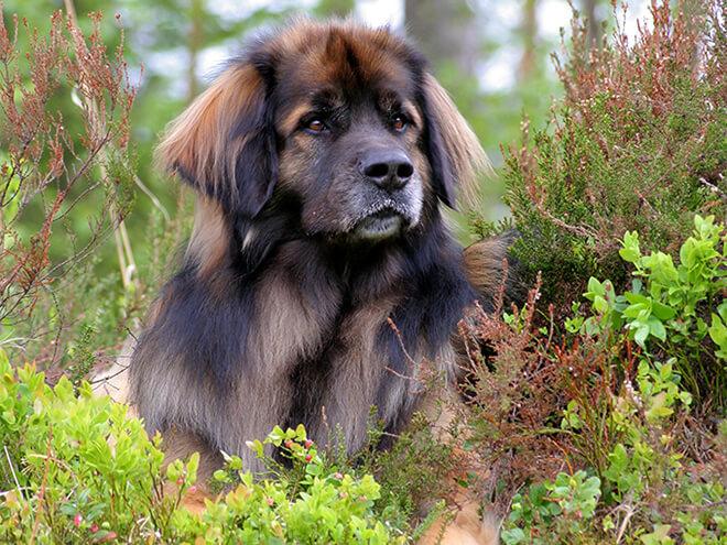 Леонбергер (собака): описание породы, характер