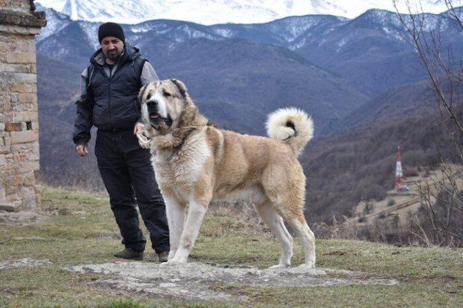 Армянский волкодав гампр — национальная гордость Армении
