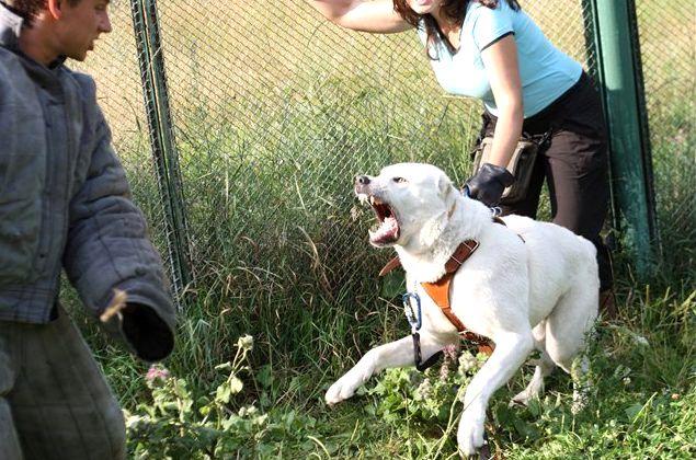 Дрессировка алабая в домашних условиях щенка и взрослого