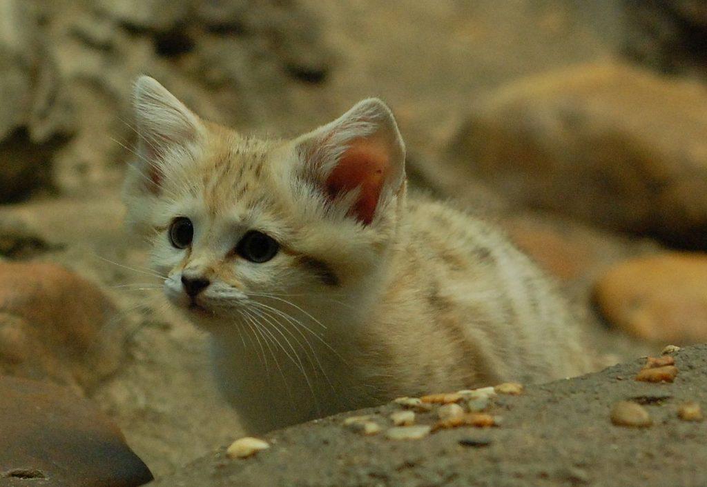Барханный кот (песчаная кошка)
