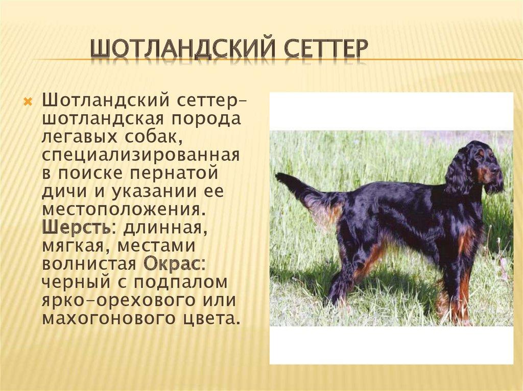 Сеттер (собака): описание русской породы, виды