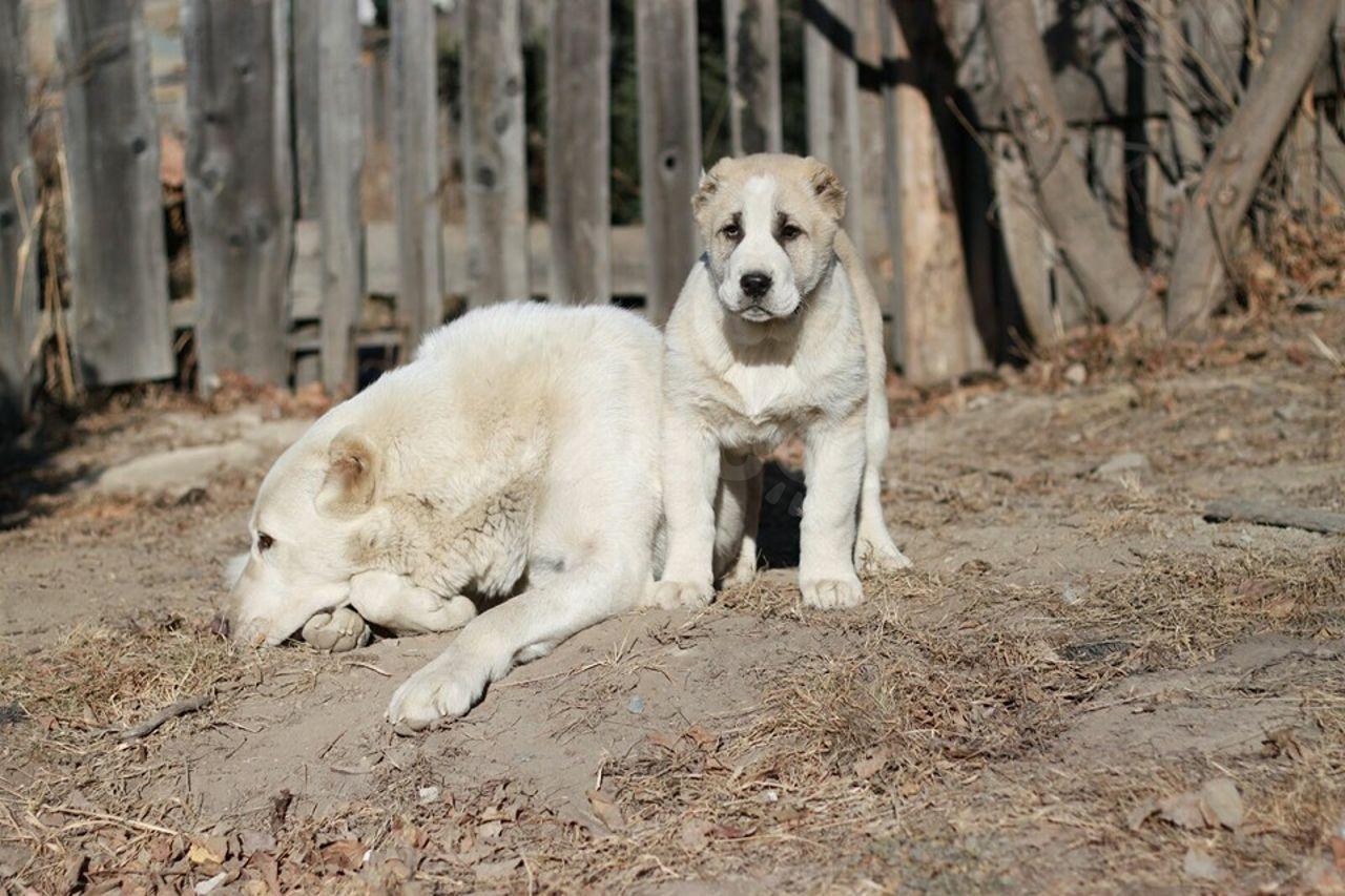 Туркменский алабай, волкодав или овчарка: описание