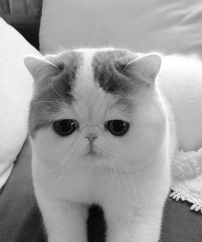Кот с приплюснутой мордой и большими глазами: породы