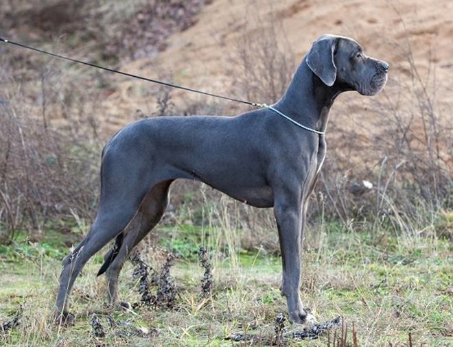 Немецкий дог: Аполлон собачьего мира