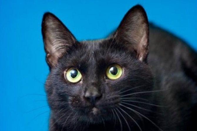 Йоркская шоколадная кошка: порода