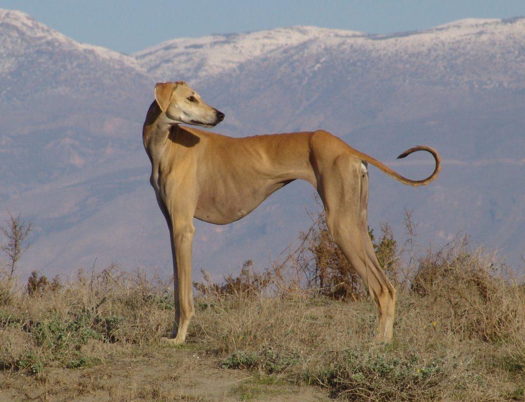 Своенравная тазы: аборигенная порода казахских кочевников