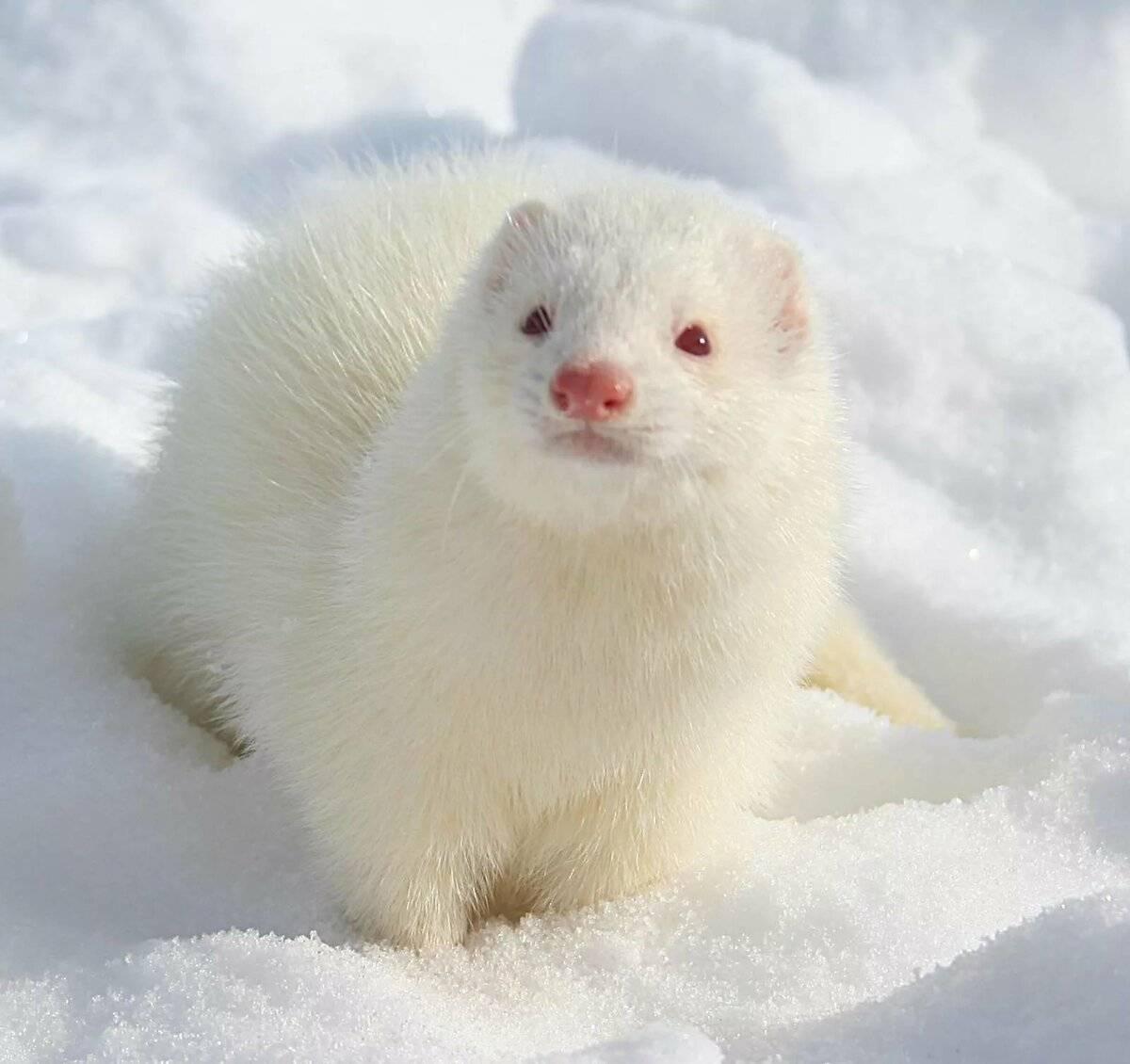 Хорек белый — описание вида, размер и характер