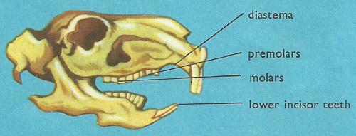 Сколько зубов у кролика, почему они длинные, строение челюсти