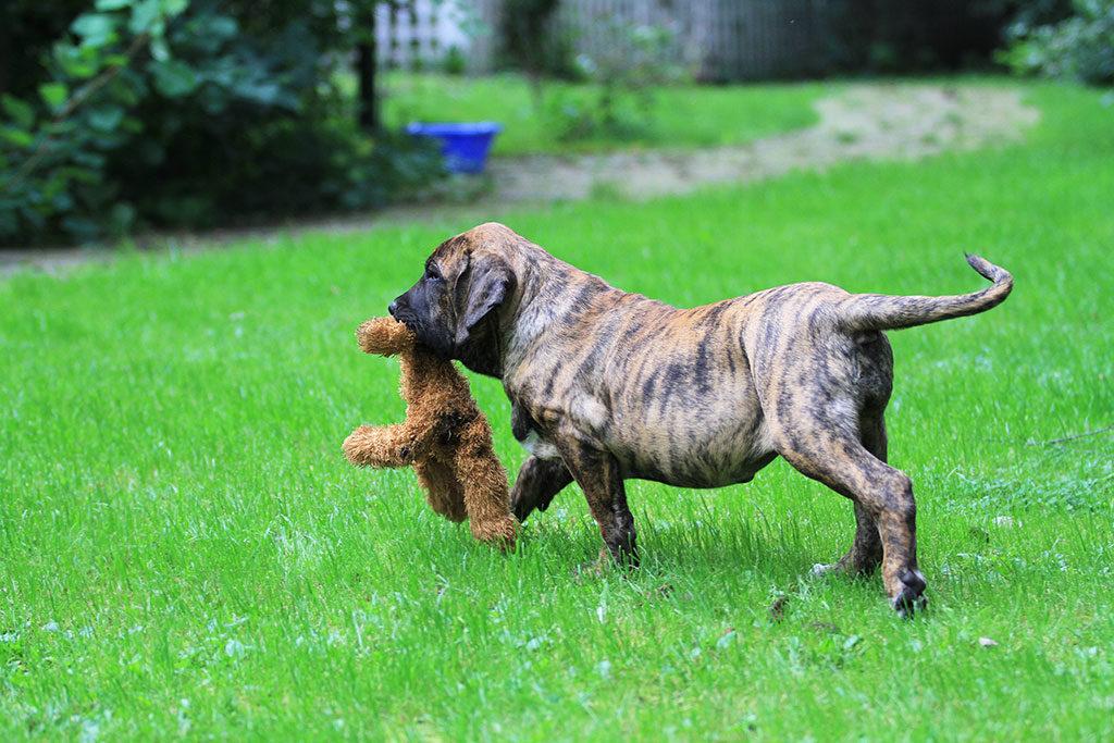 Фила бразилейро (бразильский мастиф): описание породы собак