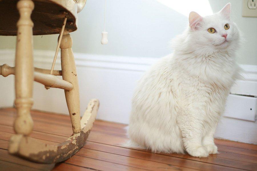 Турецкая ангора (кошка): описание породы и характера