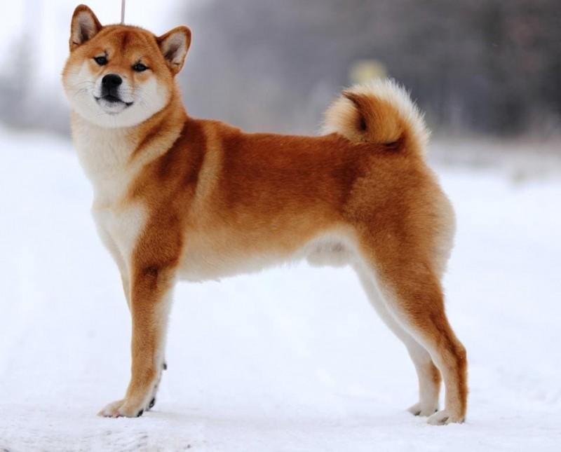 Собаки, похожие на лису — породы с фото и описанием