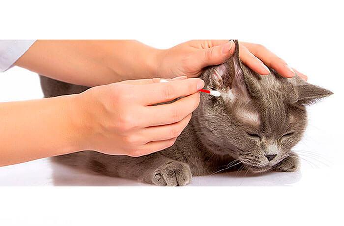Чистят ли уши кошкам и котам и как правильно это делать?