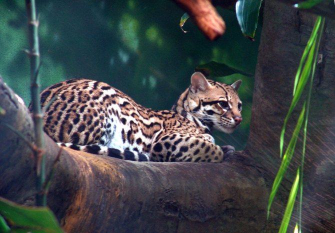 Среда обитания, особенности внешности и поведения оцелота