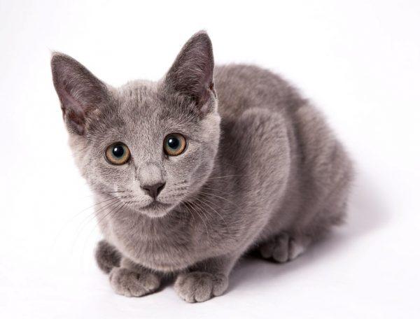 Кошка с короткой шерстью — идеальный домашний любимец