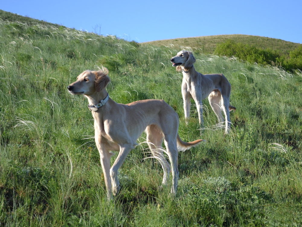 Тайган (собака): киргизская борзая порода