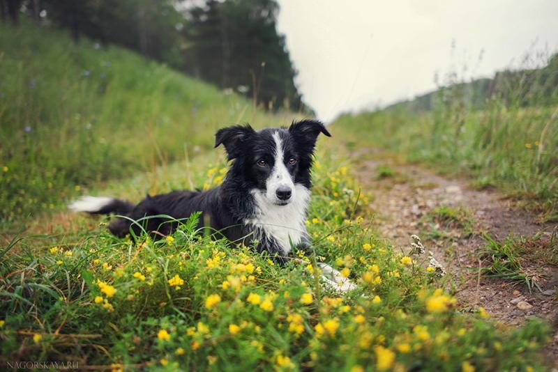 Бордер колли: самая умная из собак