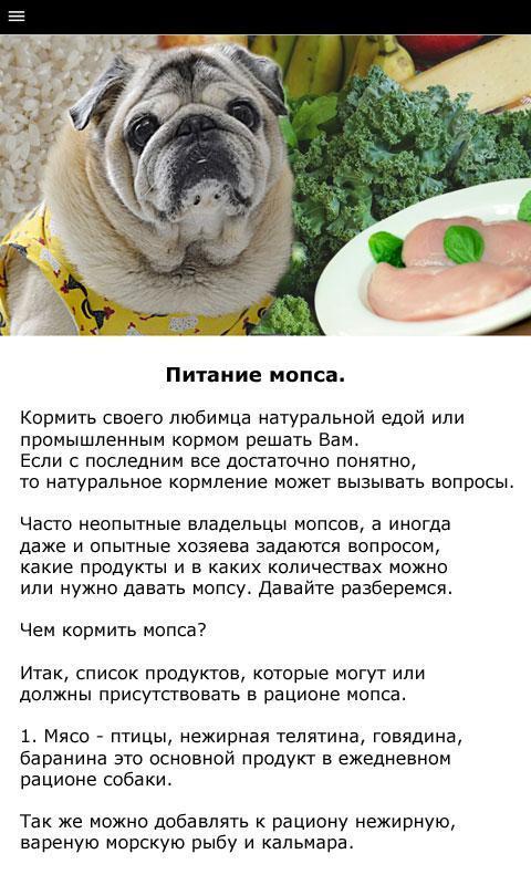 Содержание мопсов: правила ухода за питомцами в домашних условиях