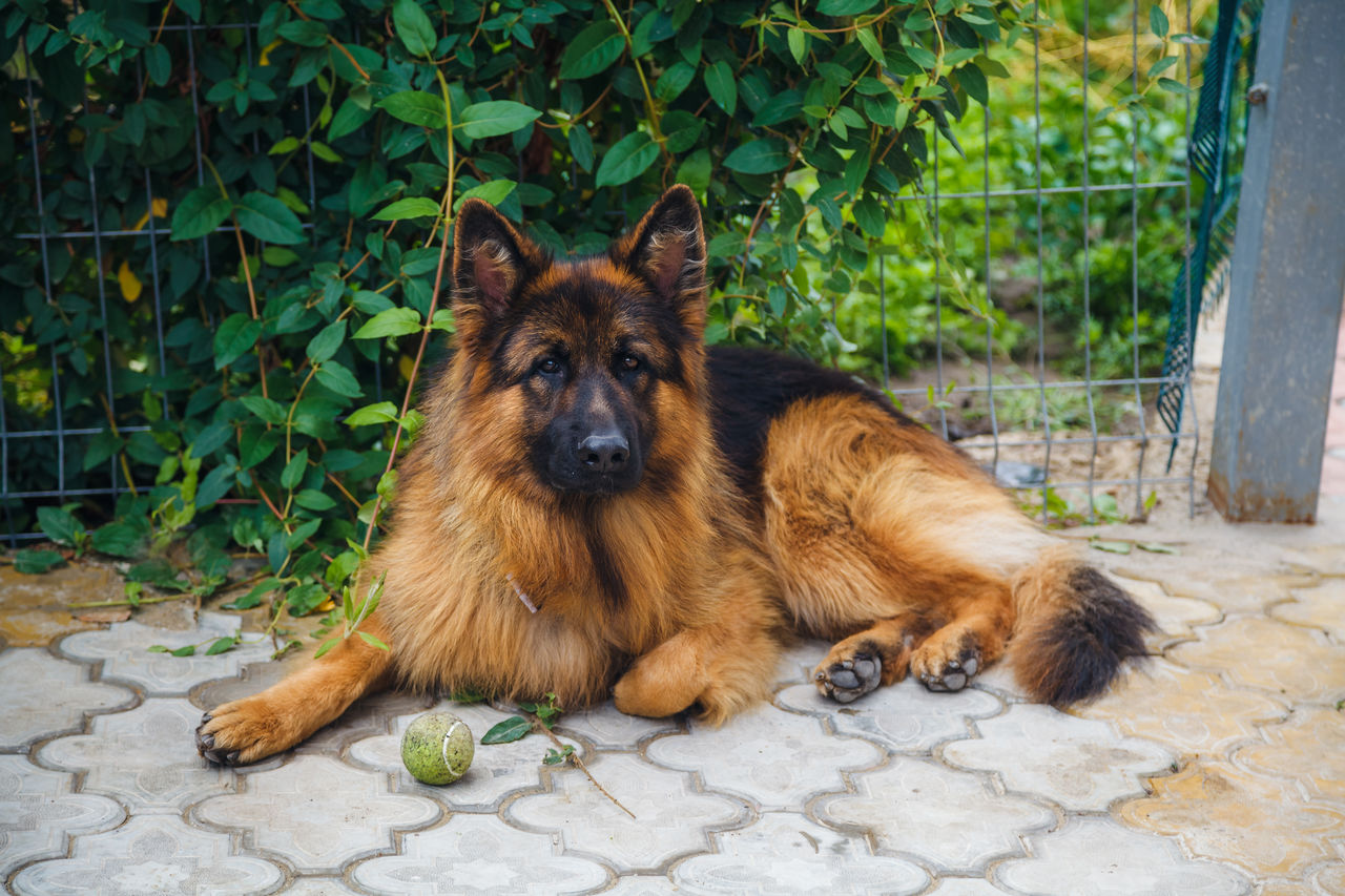 Длинношерстная немецкая овчарка (лохматая)