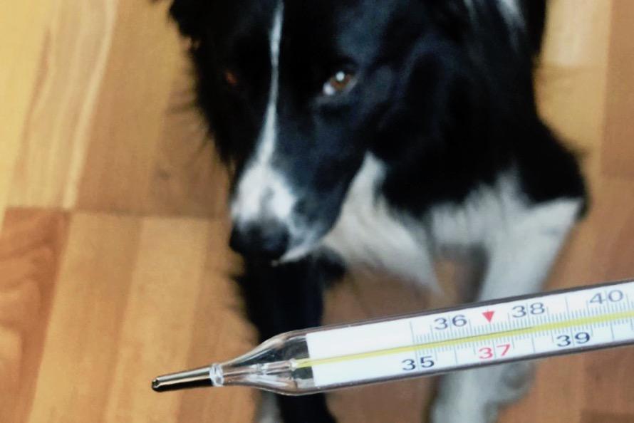 Как померить температуру собаке в домашних условиях