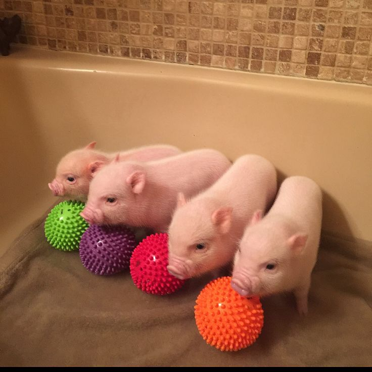 Пиги свинки — как выглядят и чем питаются
