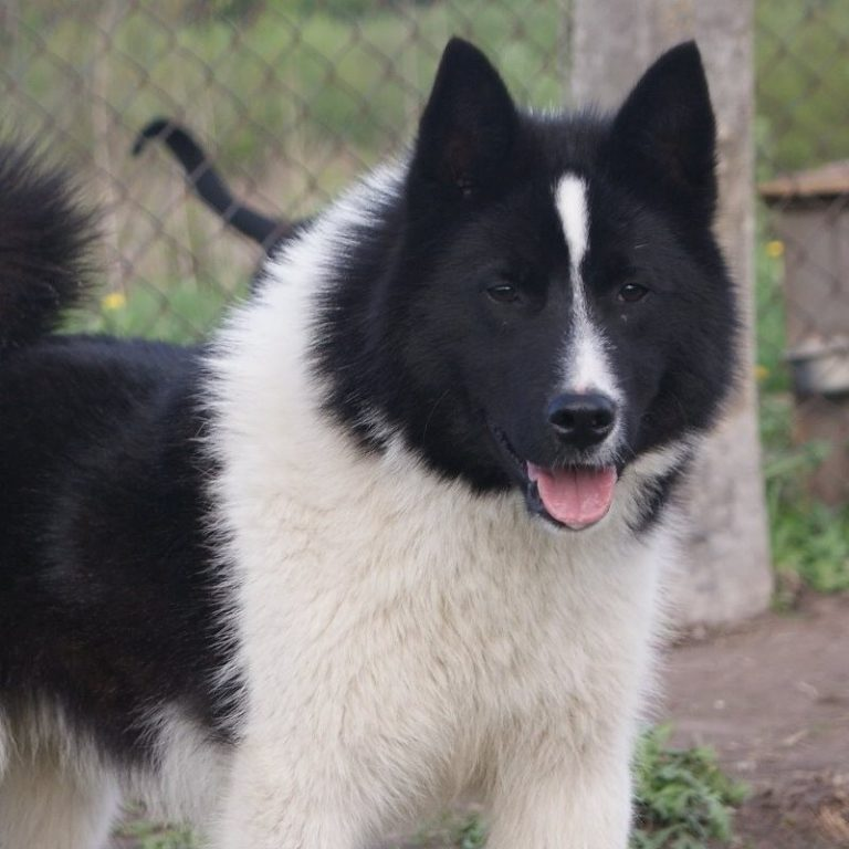 Карельская медвежья собака — отважный охотник в компактном теле