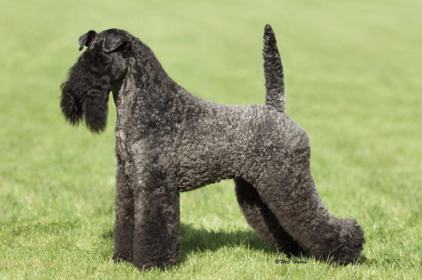 Топ-10 кудрявых пород собак: от болонки до русского чёрного терьера