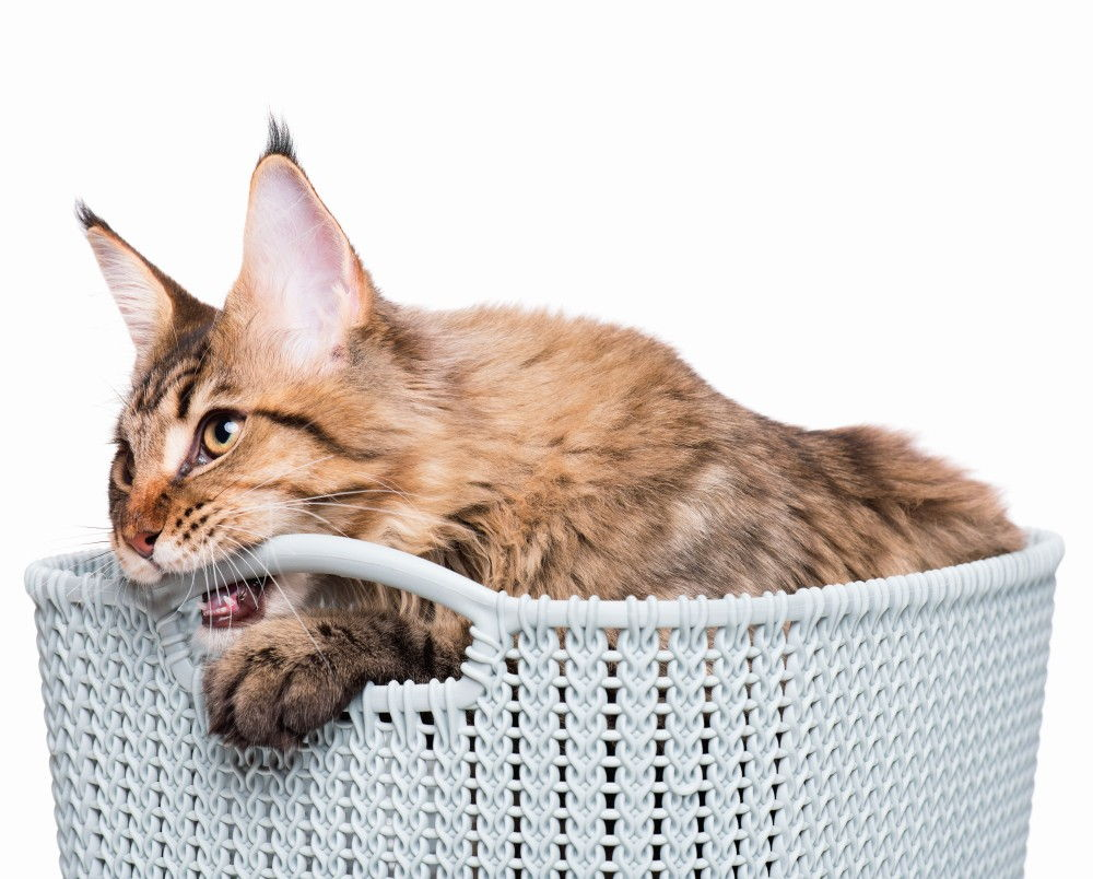 Зачем коты метят территорию и как с этим бороться